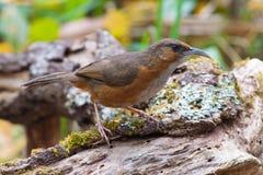 在木材的长的票据鸟 免版税库存图片