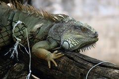 在木材的绿色鬣鳞蜥 免版税库存照片