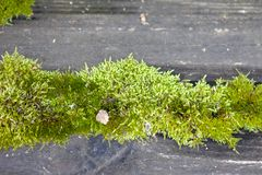 在木板之间的鲜绿色的青苔 库存照片