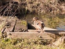 在木板条的棕色母野鸭鸭子除转动顶头好奇的湖以外 库存照片