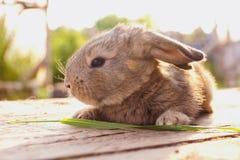在木板的小的兔子在阳光下 免版税库存图片