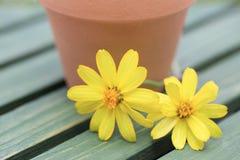 在木板的百日菊属 免版税库存图片