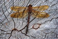 在木板的红成脉络的突进者蜻蜓 免版税库存图片