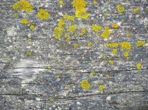 在木板的黄色地衣 免版税库存图片