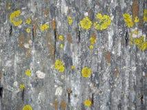 在木板的黄色地衣 免版税库存照片