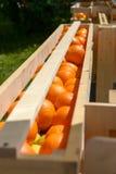 在木板箱的桔子 免版税库存照片