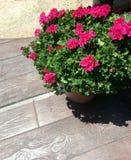 在木板走道的盆的大竺葵 免版税库存图片
