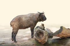在木树干的扭角羚 免版税库存照片