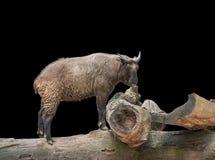 在木树干的扭角羚 图库摄影