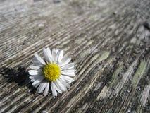 在木桌上的一朵雏菊花 库存图片