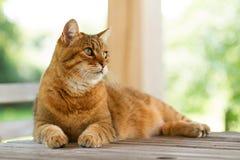 在木桌上的可爱的红色猫 免版税库存图片