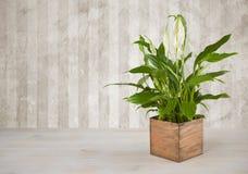 在木桌上的室内植物在难看的东西墙壁背景 免版税库存图片
