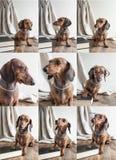 在木桌上的拼贴画红色达克斯猎犬狗 免版税库存图片