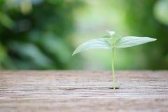 在木桌上的生长植物 免版税库存照片