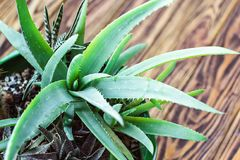 在木桌上的盆的芦荟维拉厂 芦荟维拉叶子热带绿色植物容忍热天气特写镜头selectiv焦点都市g 免版税库存图片