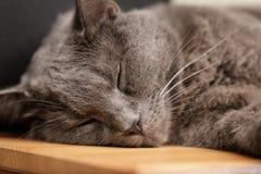 在木桌上的英国shorthair猫睡眠 免版税库存照片