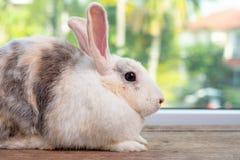 在木桌上的长的耳朵小兔逗留有绿色和自然背景 库存图片