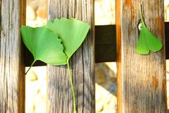在木桌上的绿色银杏树叶子 库存图片