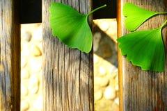 在木桌上的绿色银杏树叶子 免版税库存照片