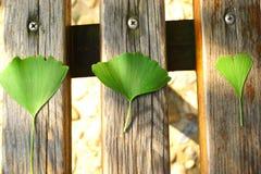 在木桌上的绿色银杏树叶子 免版税图库摄影
