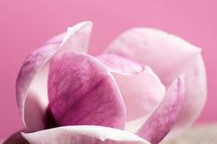 在木桌和桃红色背景上的一朵桃红色花 可爱的花 欢乐贺卡 图库摄影