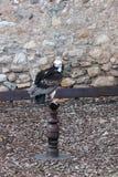 在木棍子栖息的鹰 免版税库存照片
