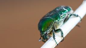 在木棍子的绿色smaragd甲虫昆虫 库存照片