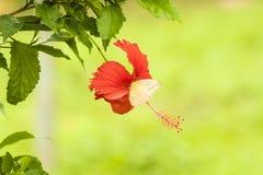 在木槿花的橙色禁止的白蝴蝶 库存照片