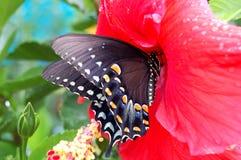 在木槿花的热带蝴蝶 图库摄影