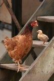 在木步骤的母鸡&小鸡立场,巴西 库存图片