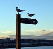 在木沿海道路的两只黑带头的鸥竖立路标,阿伯丁 免版税库存图片