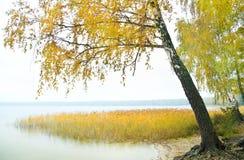 在木湖银行的桦树  免版税库存照片
