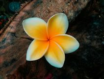 在木片断01的赤素馨花花 免版税图库摄影
