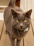 在木甲板的灰色猫 图库摄影