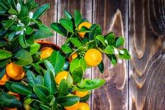 在木的中国柑桔树 免版税库存图片