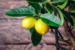 在木的柠檬树 免版税库存图片