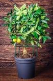 在木的柠檬树 图库摄影