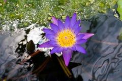 在木盆的紫色莲花,在水水池的紫色莲花 图库摄影