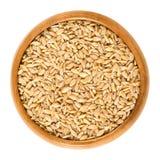 在木碗的Einkorn麦子在白色 免版税库存图片