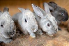 在木笼子里面的幼小兔子在复活节时间的农场 免版税库存照片