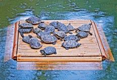 在木筏的乌龟 库存照片