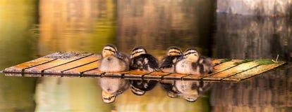 在木筏的偎依的鸭子 库存照片