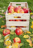 在木箱的苹果在秋季庭院里 图库摄影