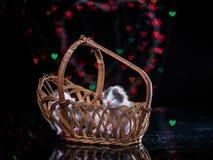在木篮子的小猫睡眠 免版税库存照片