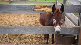 在木篱芭后的一头驴 股票视频