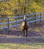 在木篱芭后的马 图库摄影