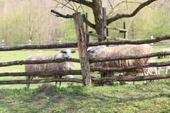 在木篱芭后的绵羊 库存图片