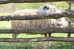 在木篱芭后的绵羊 图库摄影