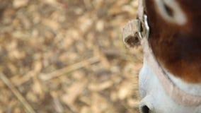在木篱芭特写镜头后的一头驴 股票录像