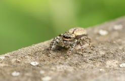 在木篱芭狩猎的一逗人喜爱的篱芭岗位跳跃的蜘蛛Marpissa muscosa昆虫的 库存照片